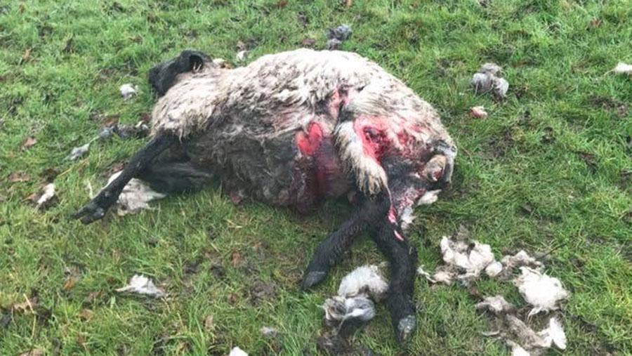 A dead sheep lies in a field