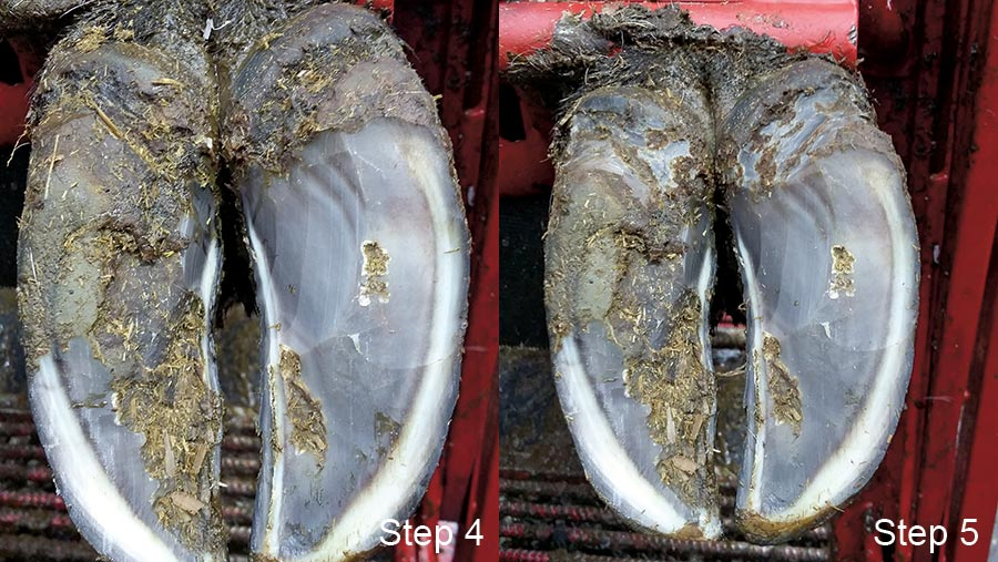 Steps 4 and 5 of hoof trimming