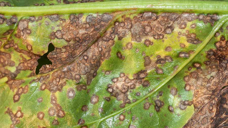 Cercospora infection on sugar beet leaf. © Martyn Cox, Blackthorn Arable