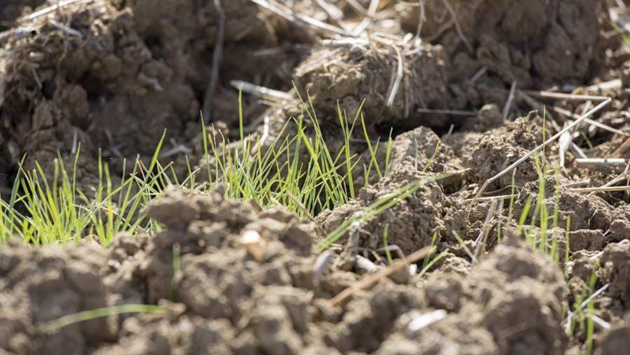 Emerging blackgrass