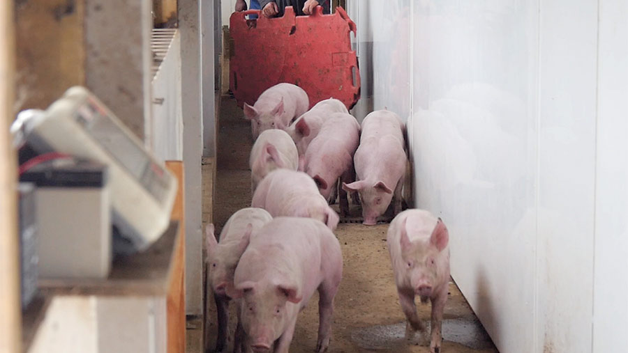 Pigs in a passageway