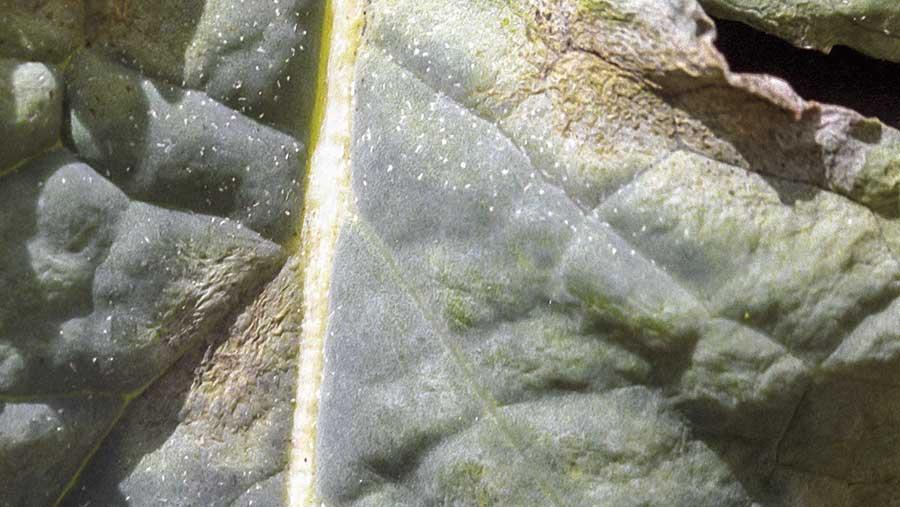 Advanced light leaf spot on an oilseed rape leaf