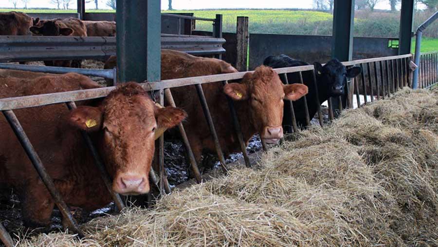 Red Devon cattle at Uppincott Farm in Devon