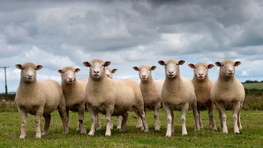 Dorset ewes, flock standing in pasture