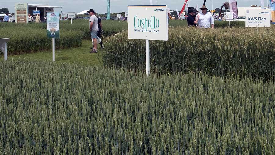 Costello winter wheat at Cereals 2017 © Tim Scrivener