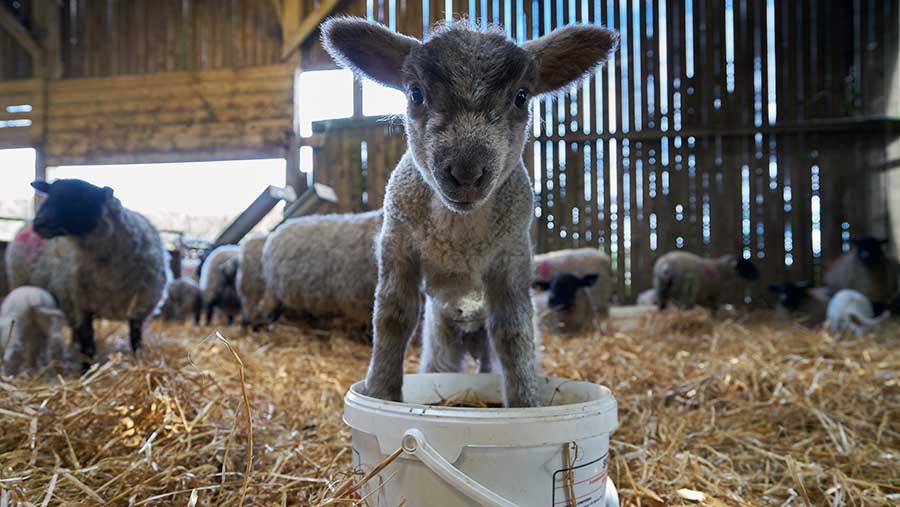 Lamb in bucket