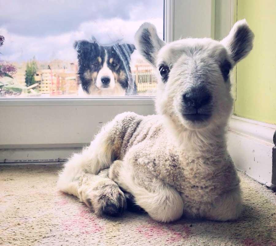 Lamb and sheepdog