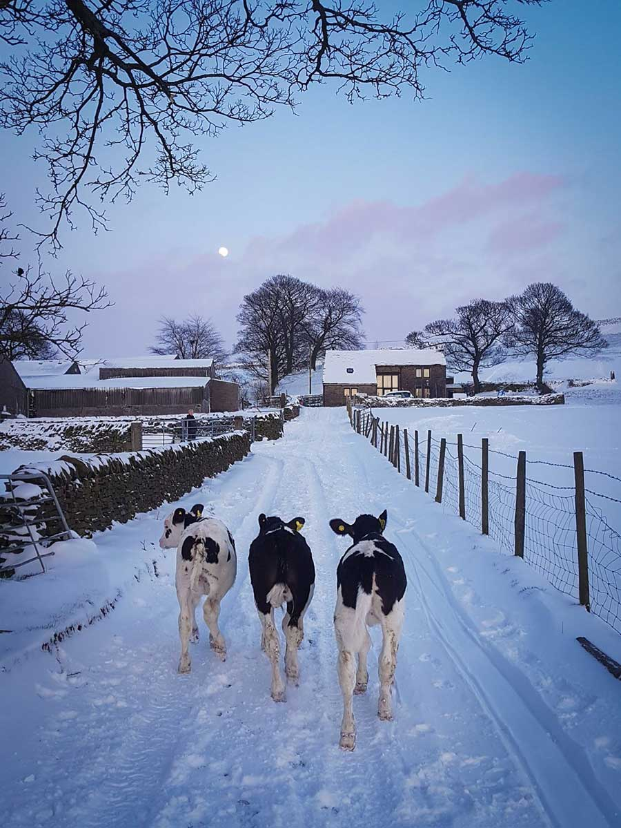 Calves in snow