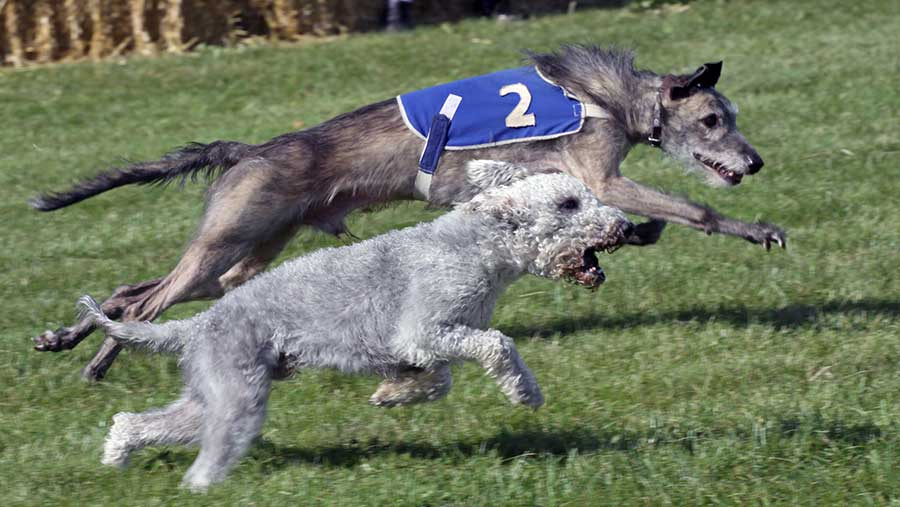 A terrier and a lurcher race