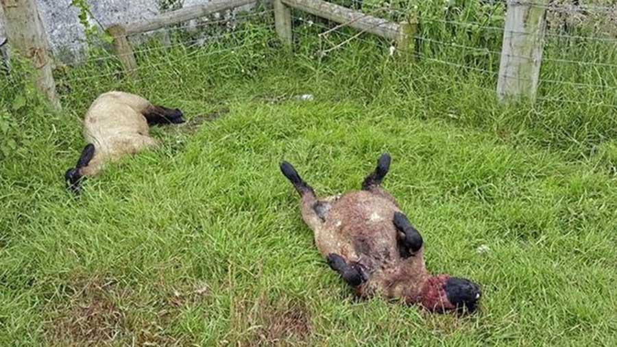 Two sheep lie dead in a field