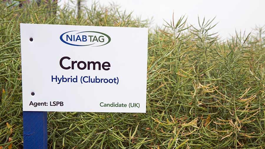 OSR variety Crome