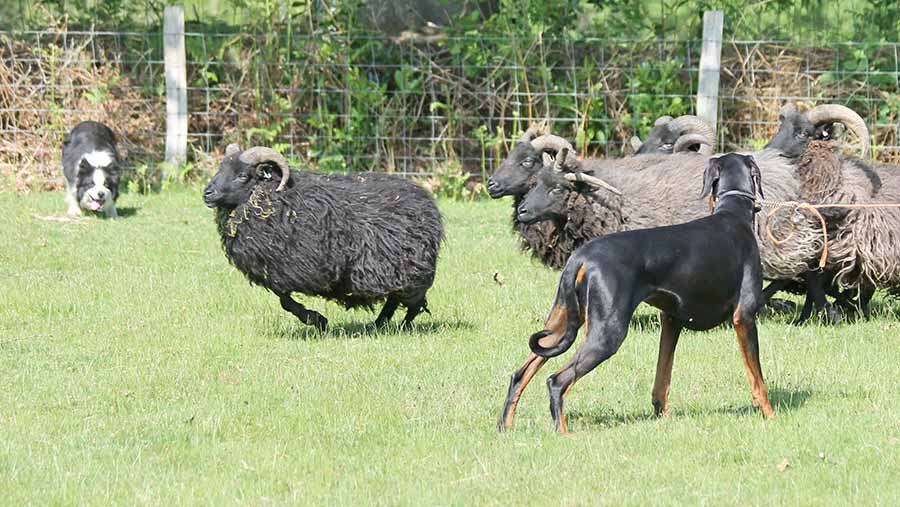 Doberman with sheep during a training session