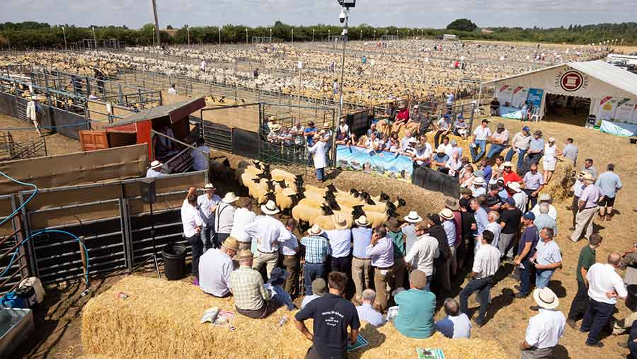 Crowd at the Thame Sheep Fair with hundreds of sheep in pens
