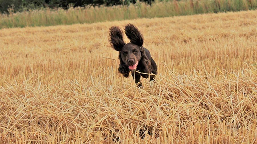 Dog bounding across harvested field © Laurel Bowes