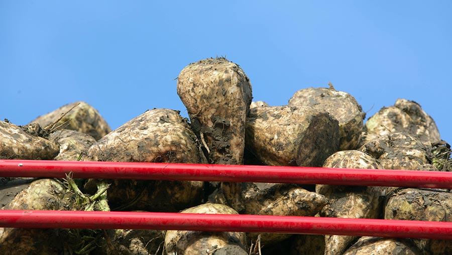 Sugar beet in harvester © Tim Scrivener