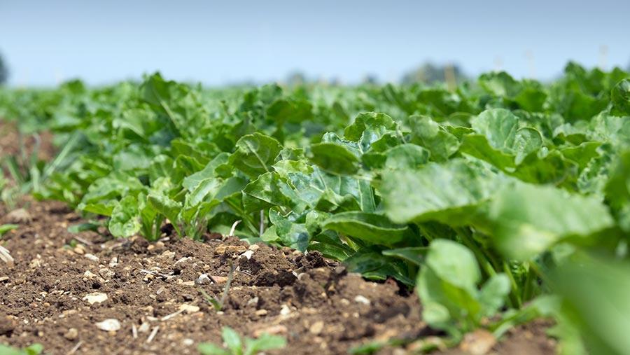 Sugar beet in ground © Tim Scrivener