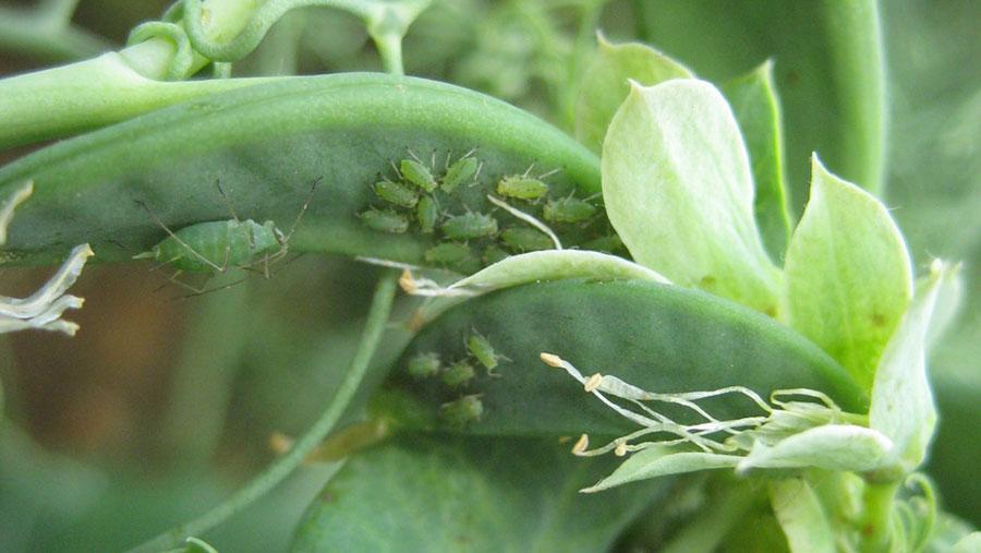 Pea aphids on a pea pod