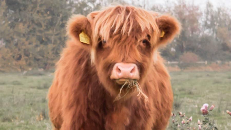 080618-sexiest-cow-Bonnie.jpg