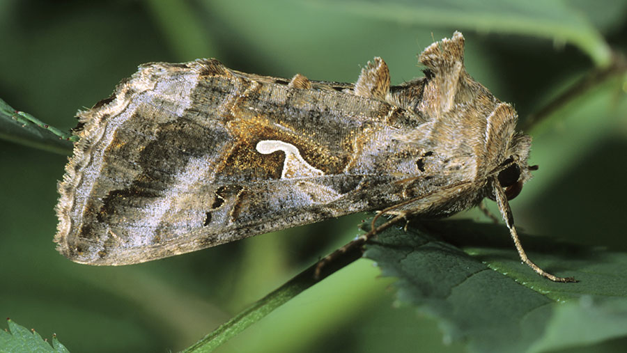 A silver Y moth in resting position