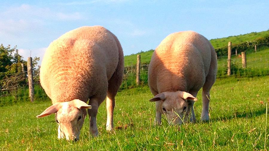 Texels grazing in a field