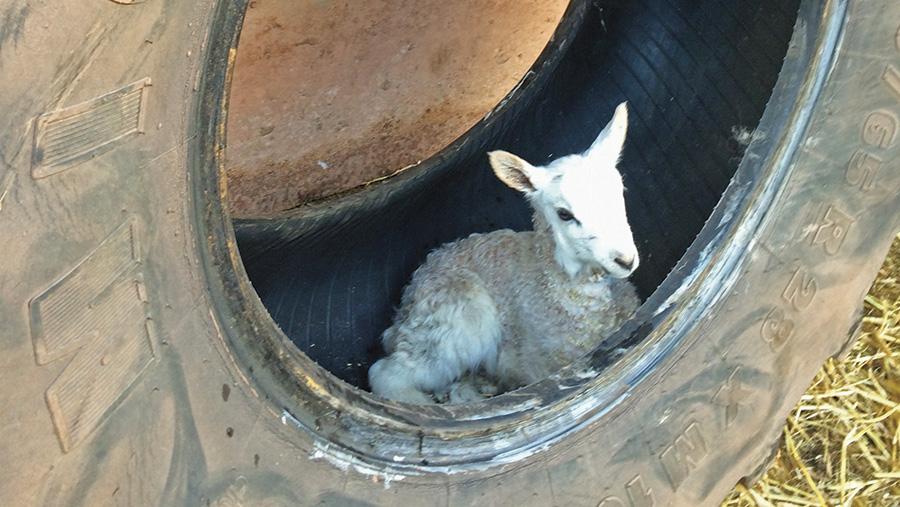 Lamb in tyre