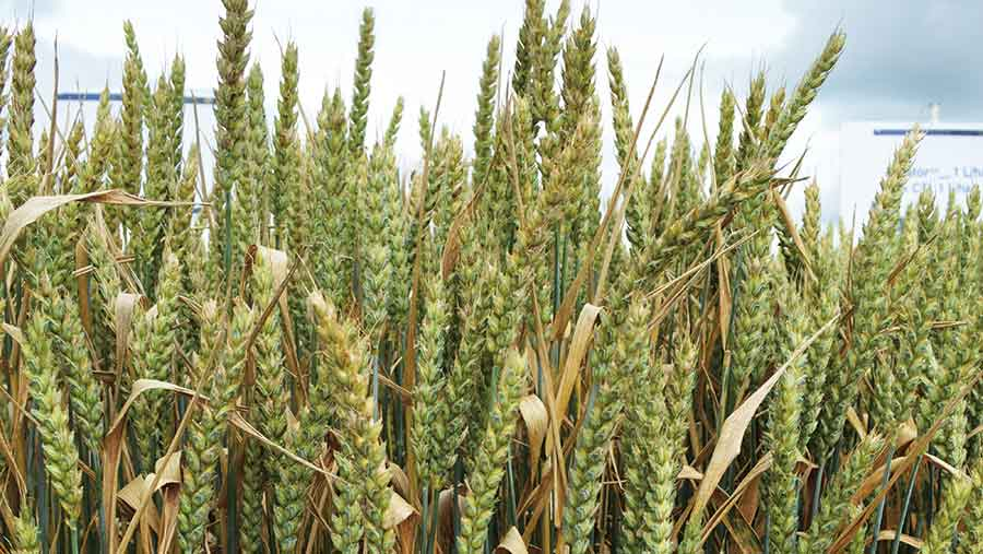 Wheat crop with septoria