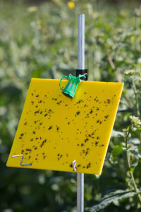 A sticky trap in a field which has caught pollen beetles