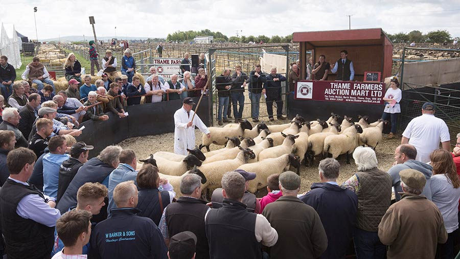 Sheep being sold in ring at Thame fair
