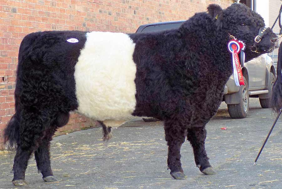 Male-champion-Belted-Galloway-Lomond-Bunnahabhain-from-JM-and-D-Maxwell-Drymen-
