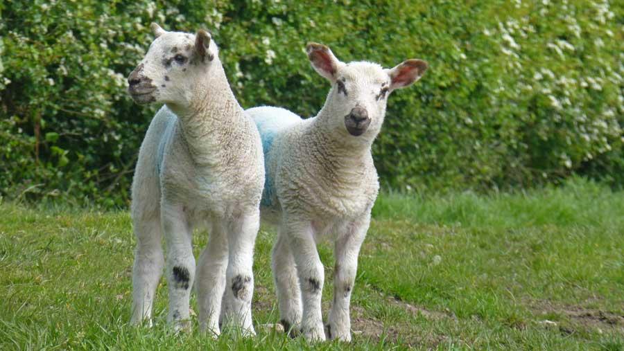 spring lambs, cornwall