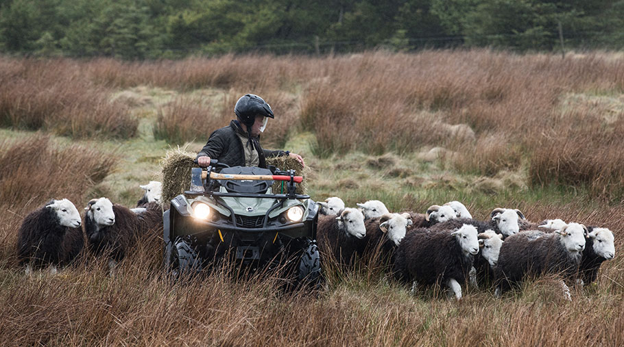 A person drives an ATV through a field. A herd of sheep follow