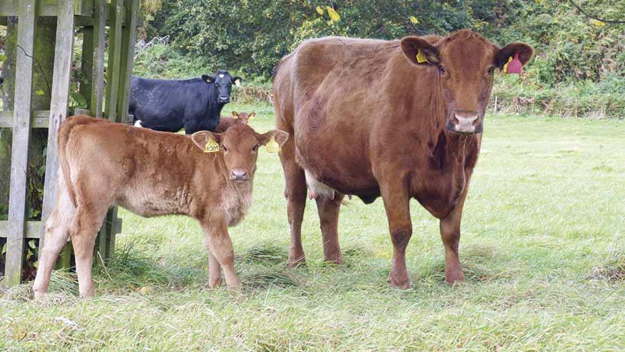 Lilburn-cow-and-heifer-calf