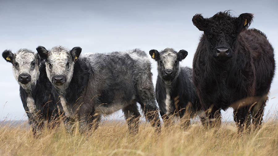 Galloway Cow with Galloway Whitebread Shorthorn calves