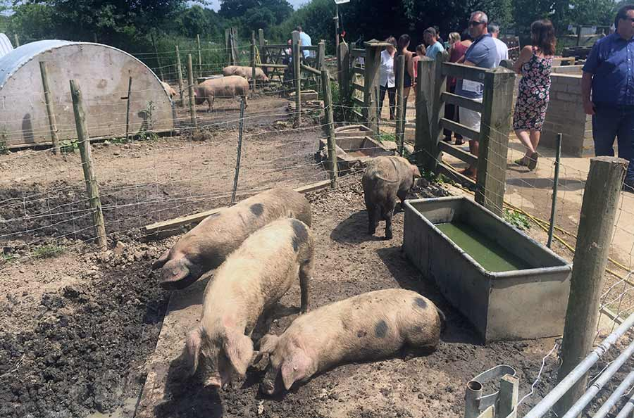 Visitors at Hill House Farm near Dorking in Surrey meet some of the Gloucester Old Spot pigs.