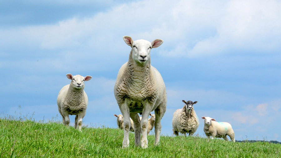 Ewes and lambs © Will Jones
