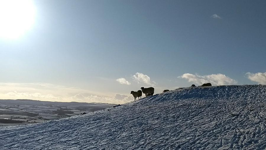 Sheep in snow in Yorkshire Dales