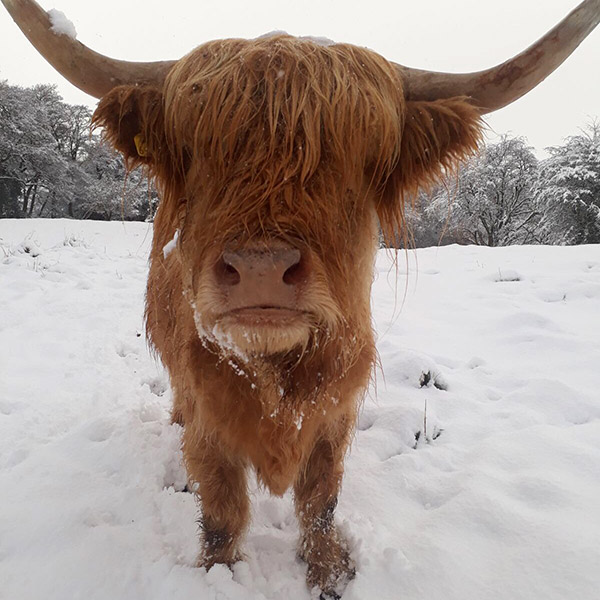 Highland cow in snow
