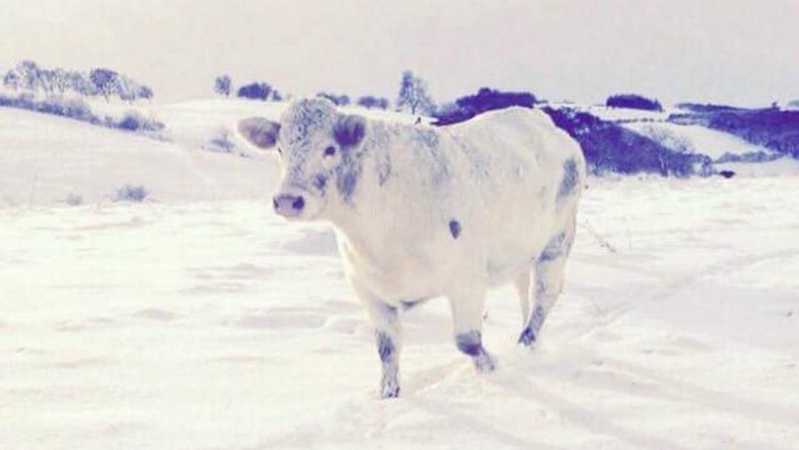 Heifer in the snow
