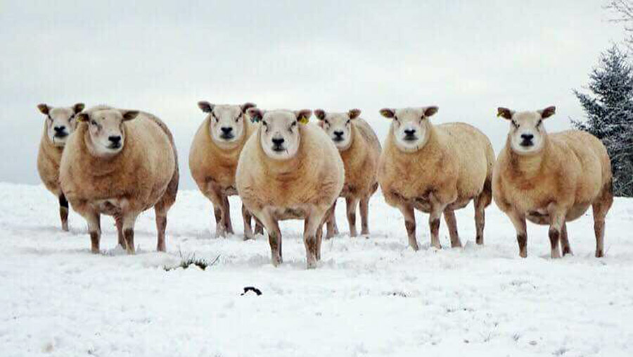 Sheep in snow in wales