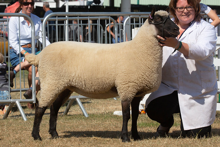 The Sheep Reserve Champion at the Great Yorkshire Show