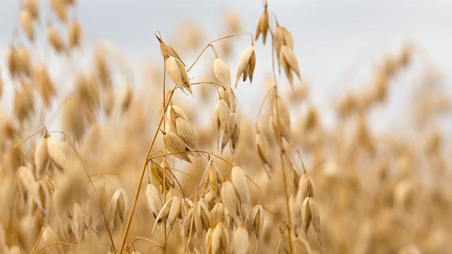 Oats ready to harvest © Tim Scrivener