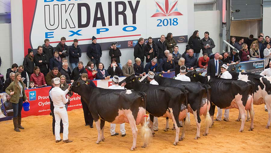 Cows on show at UK Dairy Expo