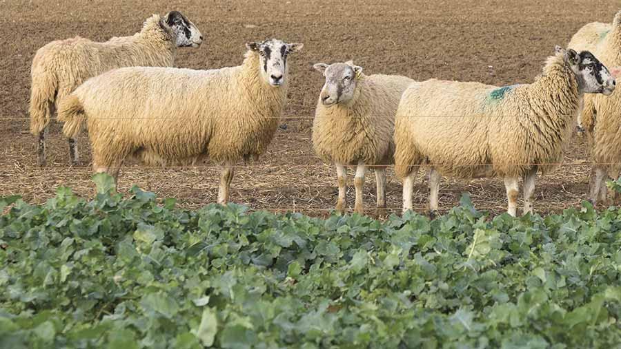 120417-sheep-on-crop