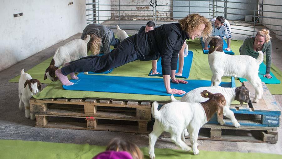 Goat pilates © SWNS