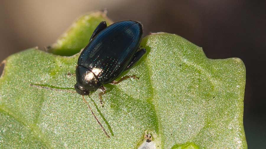 Cabbage stem flea beetle on an oilseed rape leaf