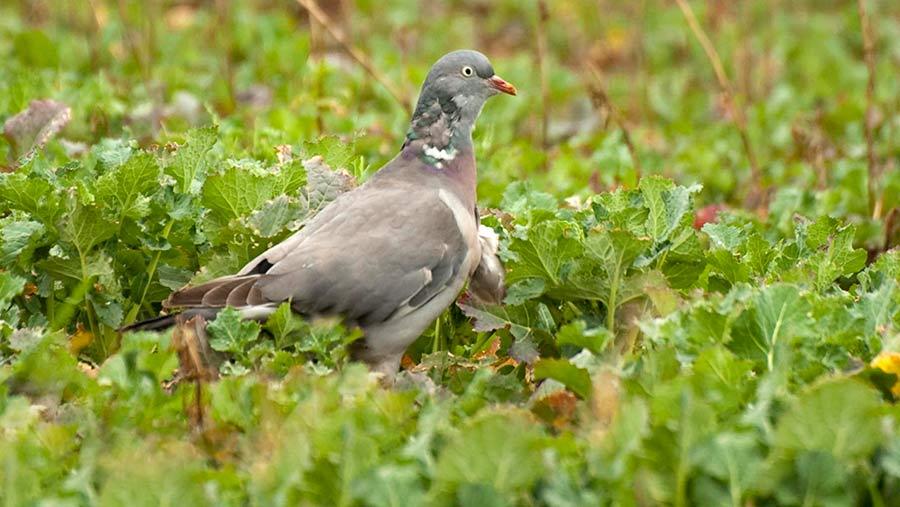 A pigeon in oilseed rape