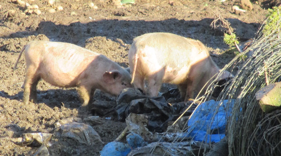 Pigs rooting through bags containing animal by-products