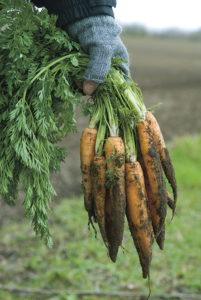 Gloved hand holding picked carrots
