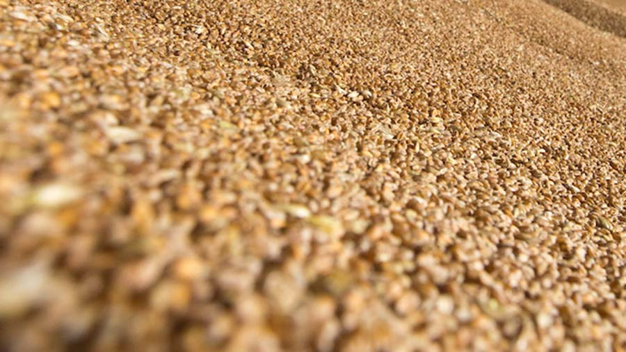 Wheat seed © Tim Scrivener