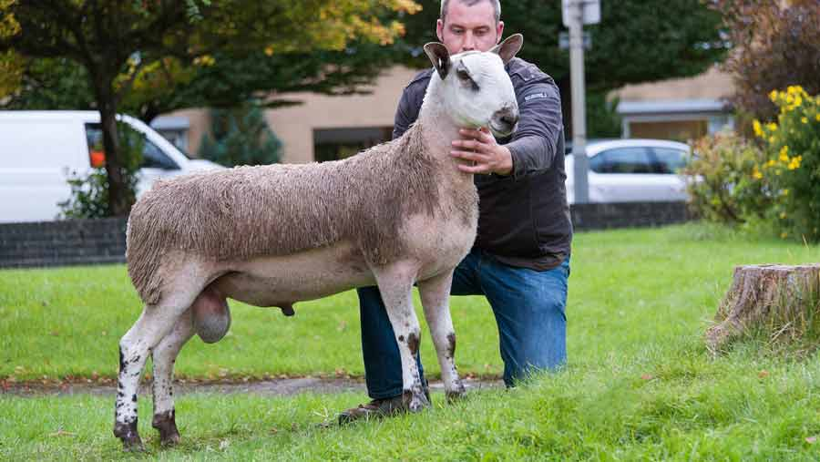 A bluefaced leicester ram lamb which topped the trade at Carlisle mart